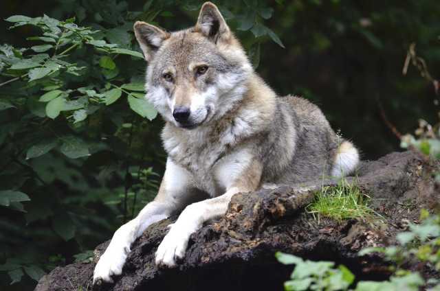 vučica